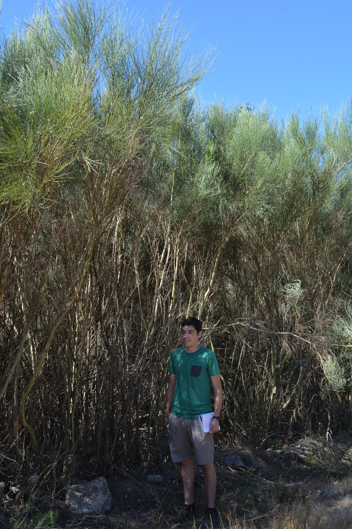 A forest engineer stands next to 3 metre tall Portuguese broom. This dominant, dry dense species is perfect fuel for Portugal's wildfires.
