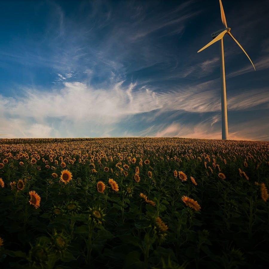 A wind turbine in a field of sunflowers.