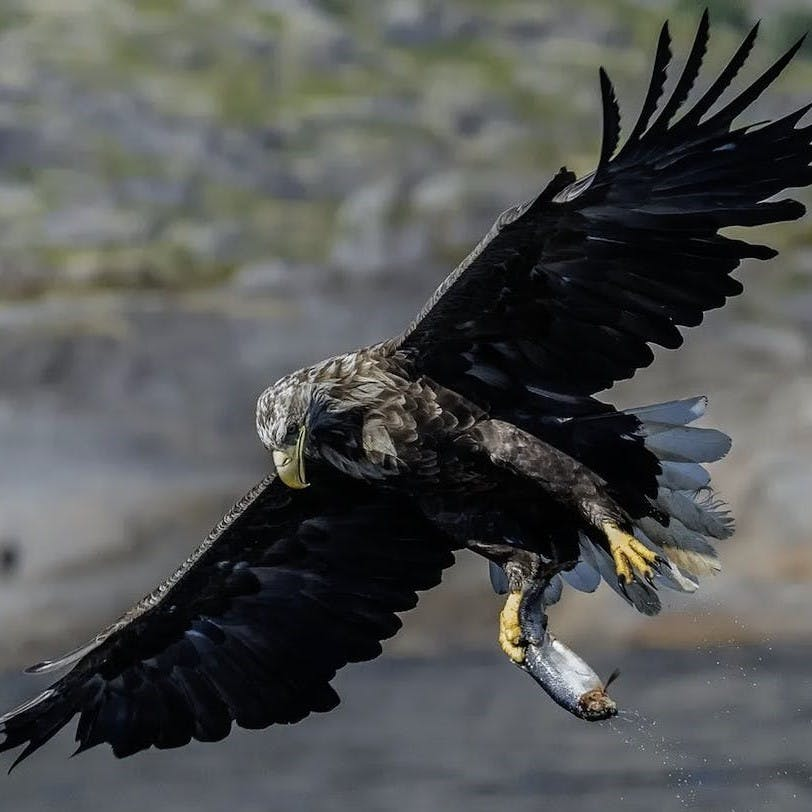 A white tailed eagle carries a fish in its talons