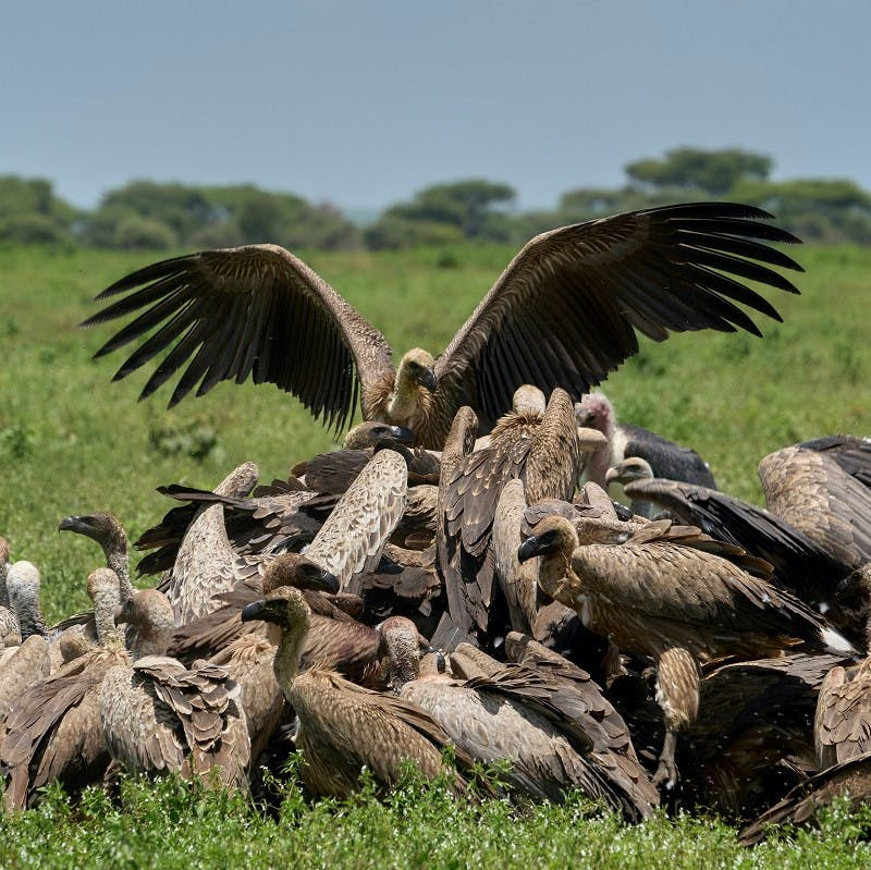 A committee of vultures feast on a carcass.