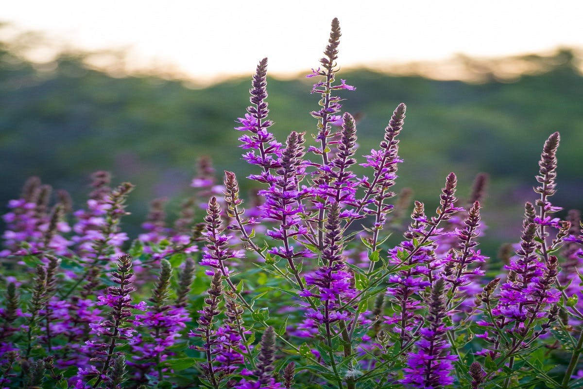 Purple Loosestrife, an invasive species to North America. Could species like this be a downside to wildlife corridors?