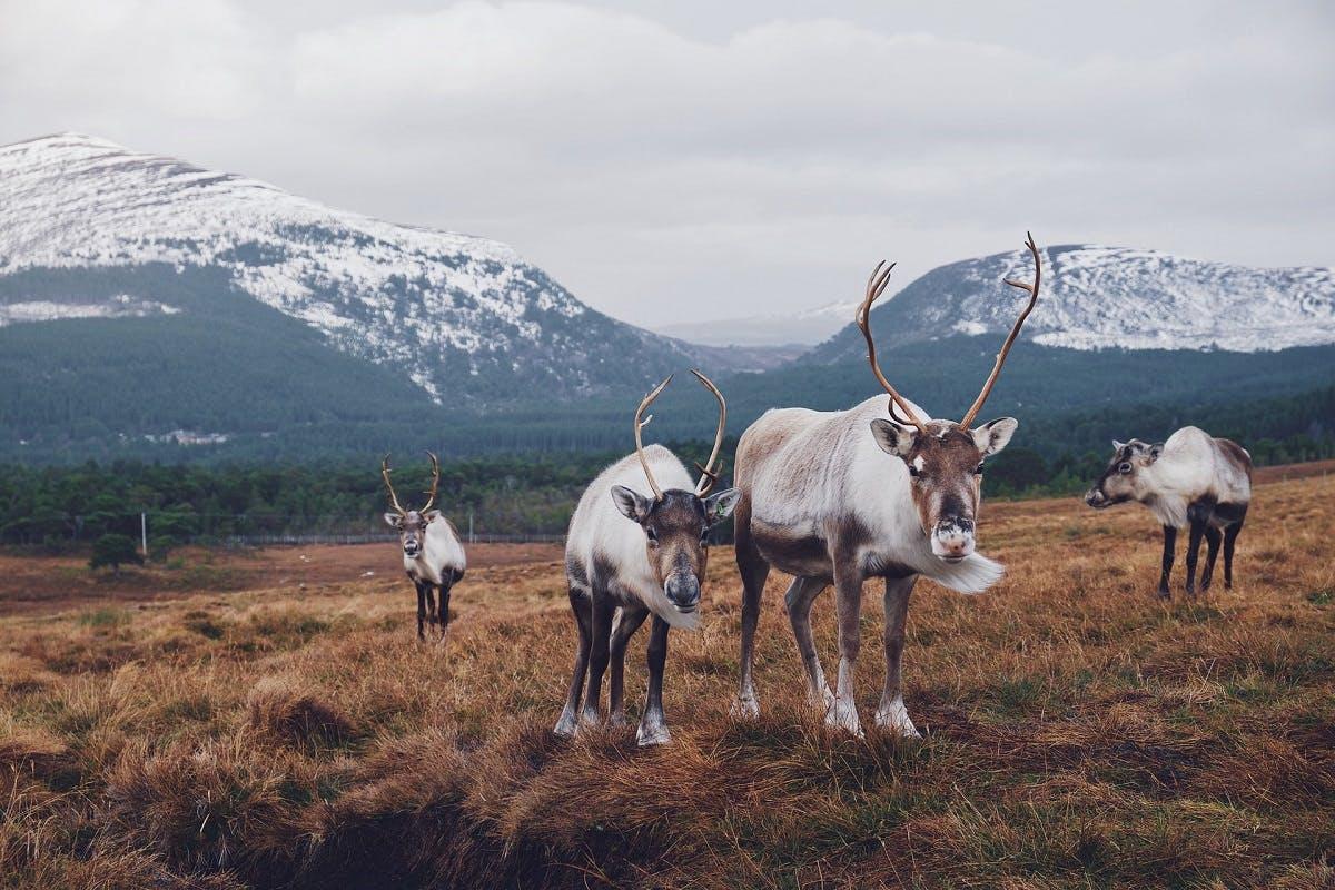 Reindeer are seen grazing a tundra's grass.