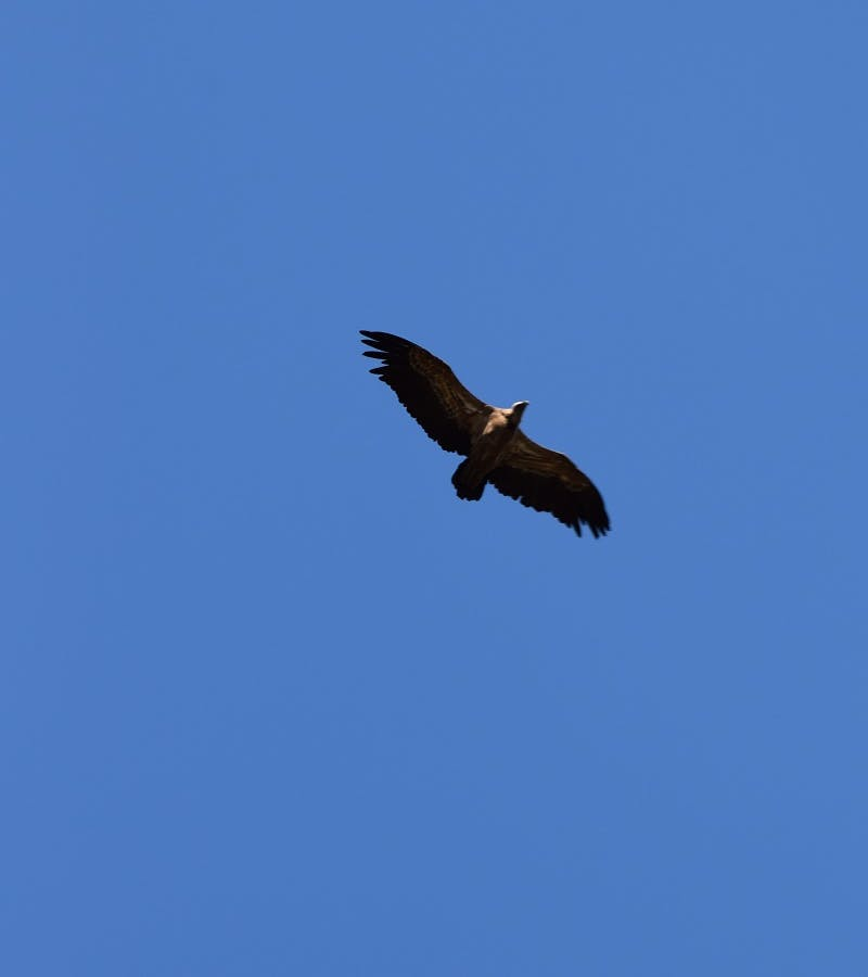A vulture soaring high in a clear blue sky in the Douro Valley, Portugal