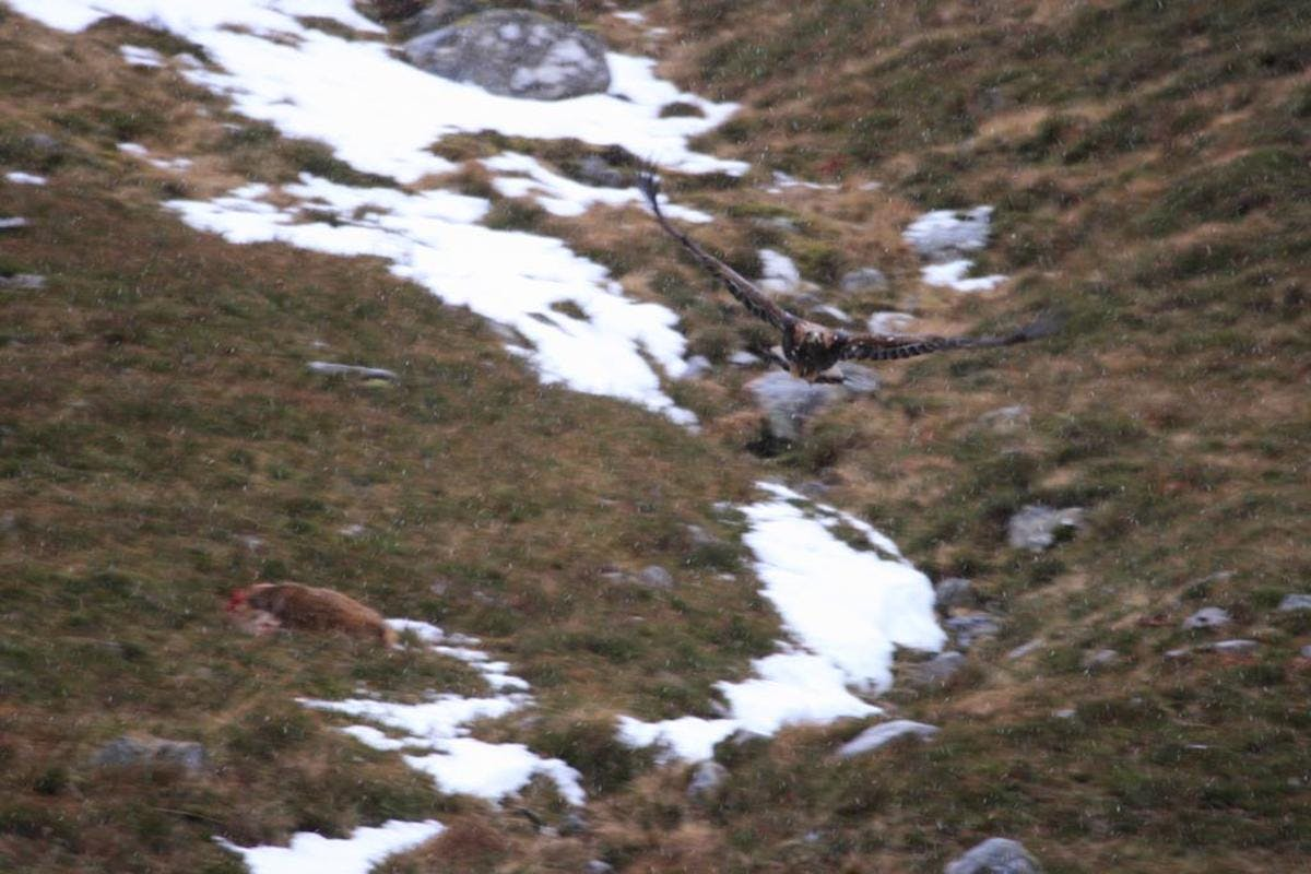 A golden eagle flying over the carcass of a red deer stag with snow in the background