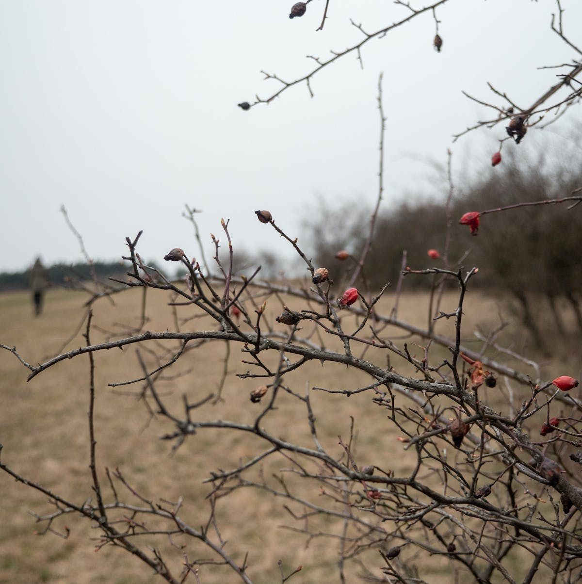 Berries cling to a the otherwise barren branches of a deciduous tree in winter