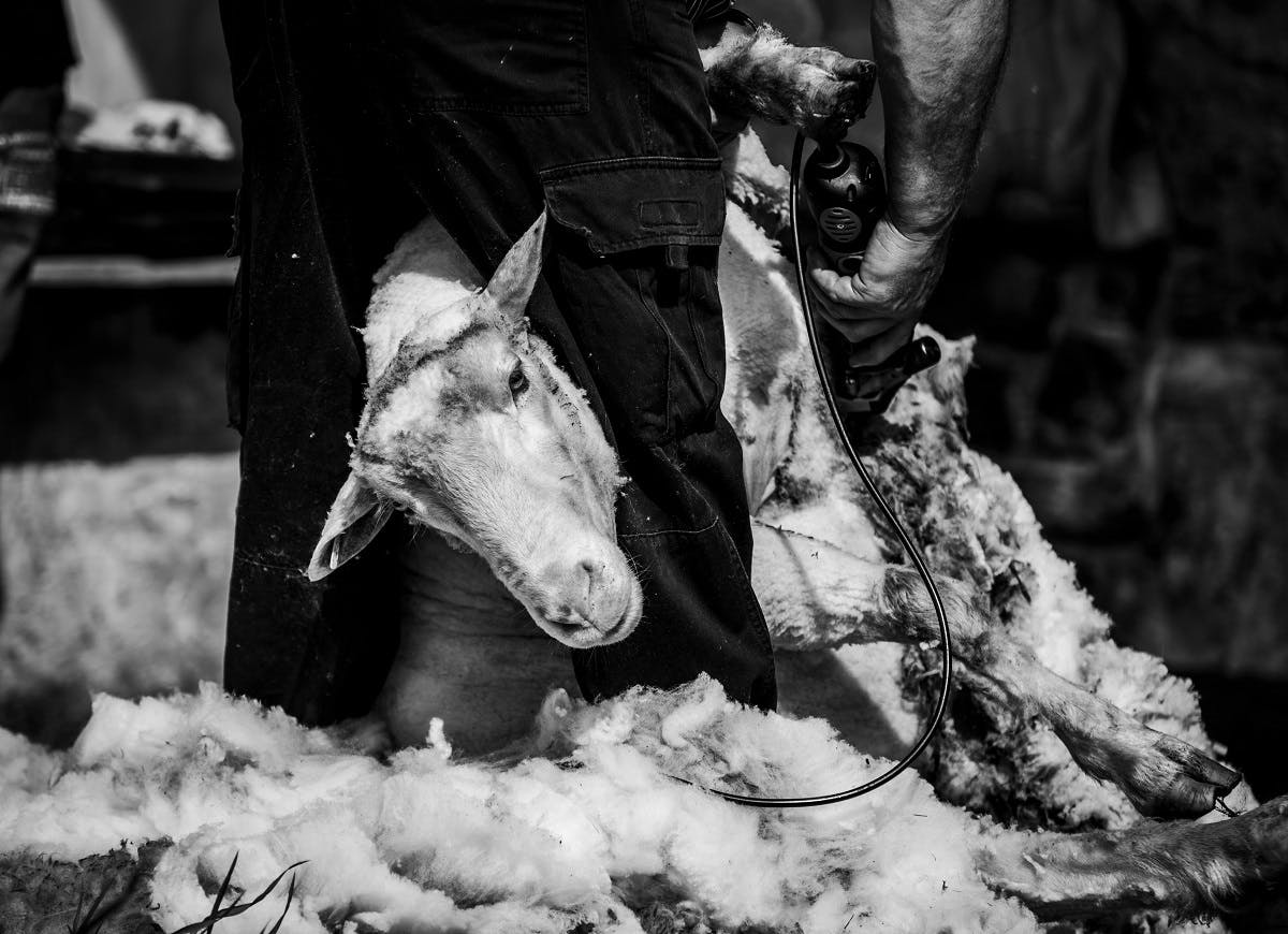 A sheep being sheered