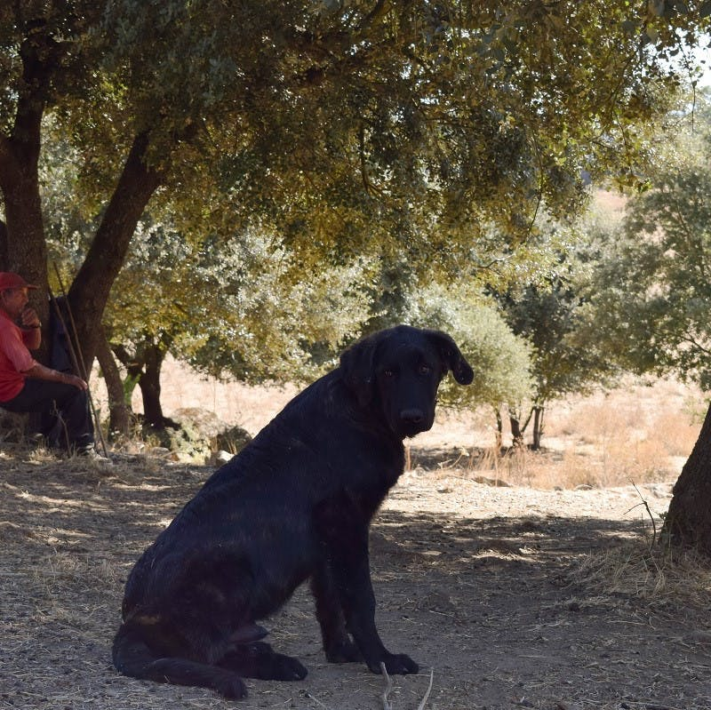 A Portuguese livestock guarding dog sits in the shade of a tree. Without these dogs play an important role in the reintroduction of keystone species like wolves.