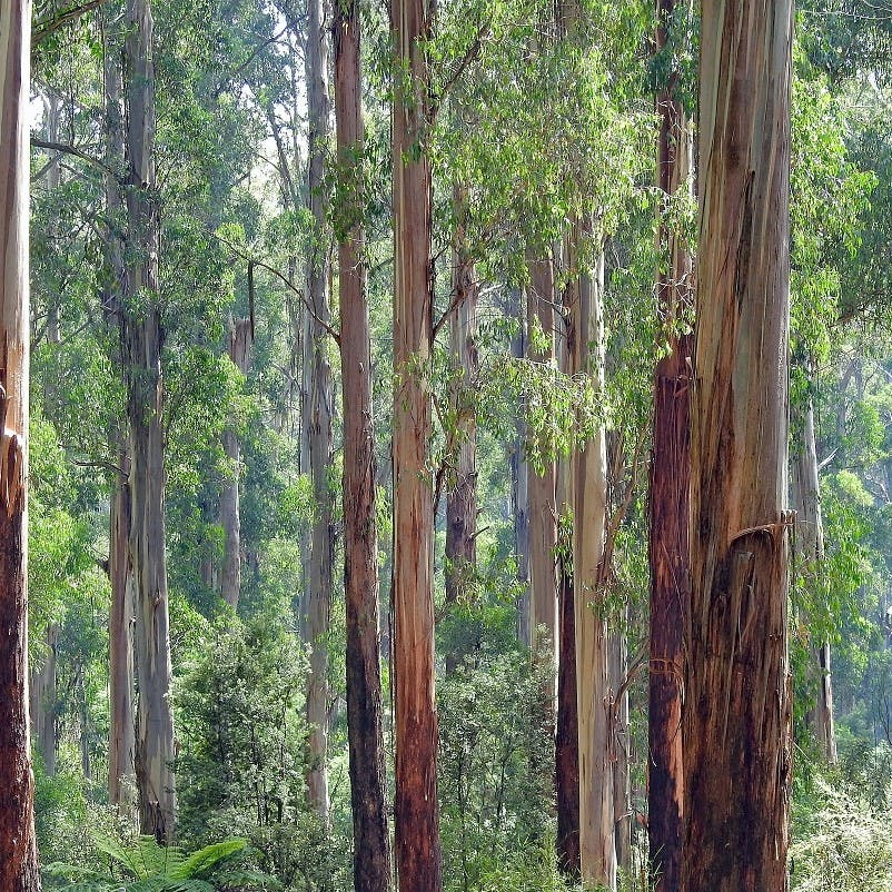 A eucalyptus forest, an example of an invasive tree species which drives biodiversity loss in countries such as Portugal.