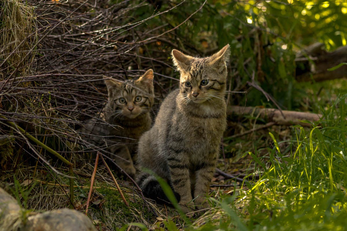 Two wildcat kittens sitting amongst the shrubs in their enclosure at Alladale Wilderness Reserve