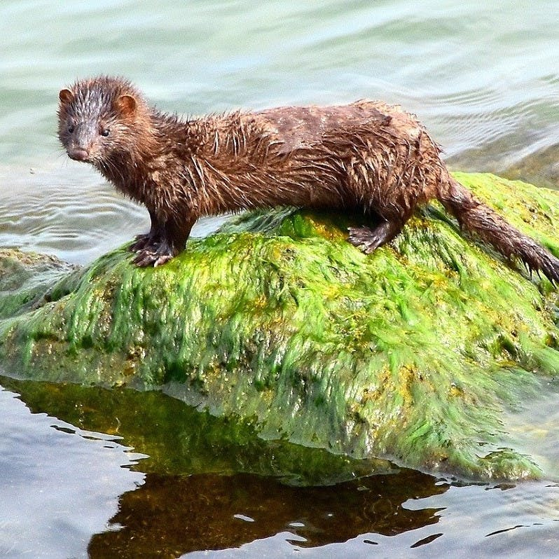 An American mink, a direct threat to the survival of water voles in the UK, perched on a seaweed covered rock.