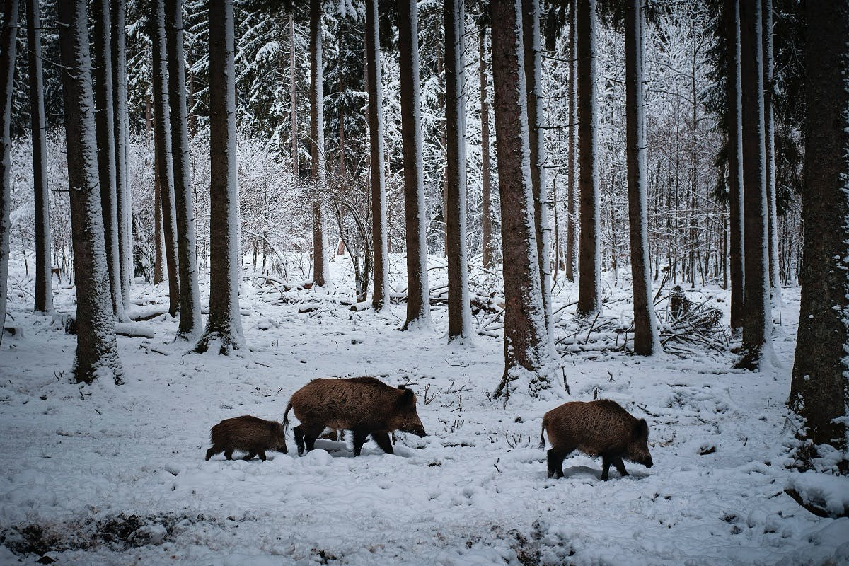 A family of wild boar trudge through a snowy forest.