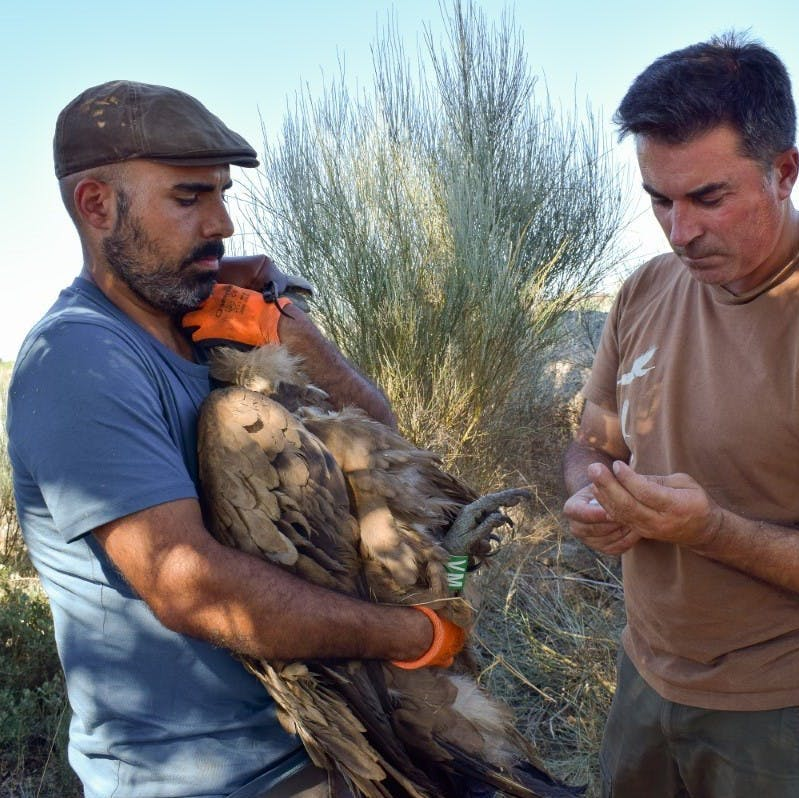 André Couto (on the left) holding the captured griffon vulture and Carlos Pacheco preparing to install the harness. The vulture's head is covered with a hood to keep it calm.