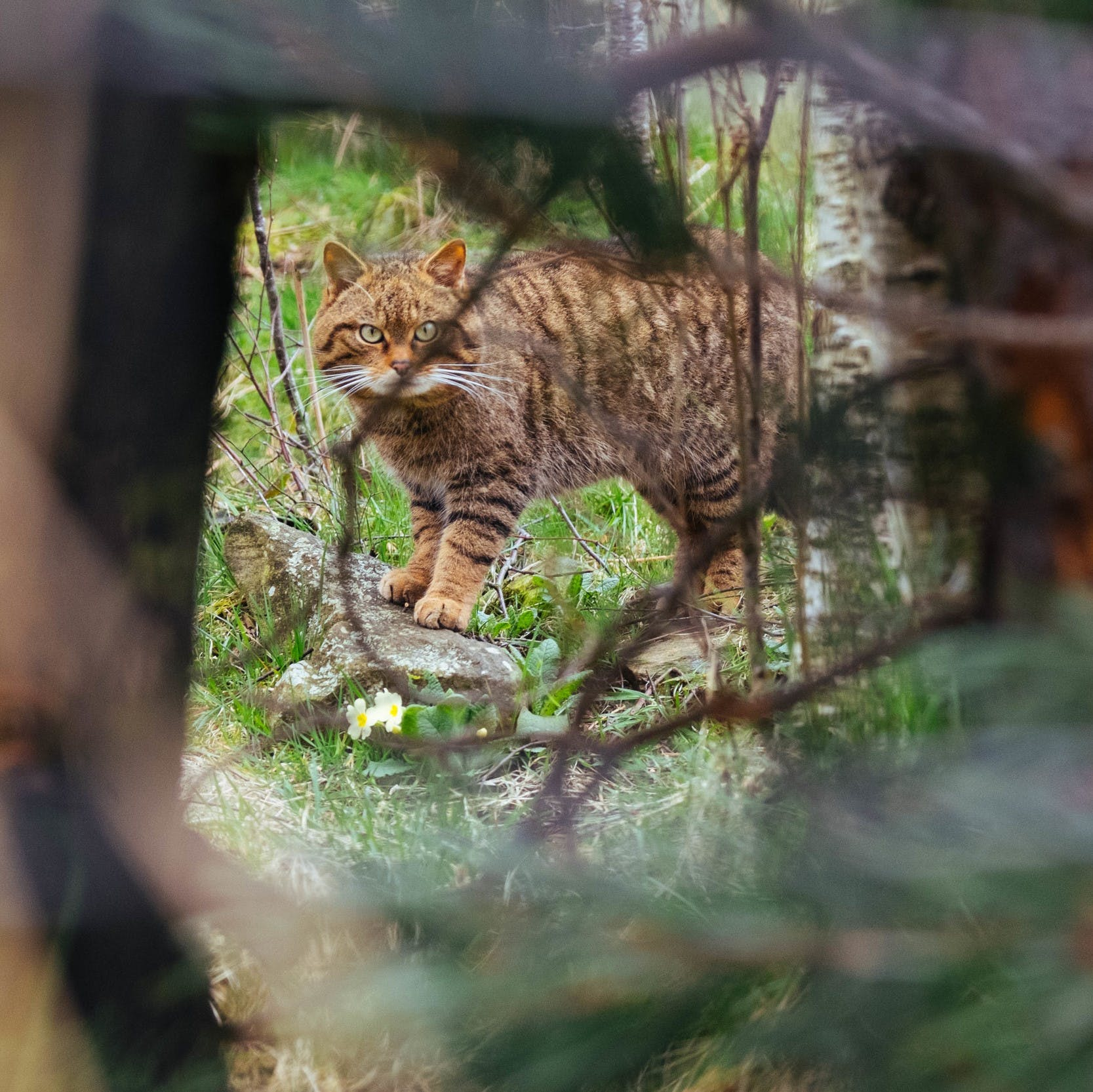 A Scottish wildcat stands among the primroses and pears through a gap in the trees