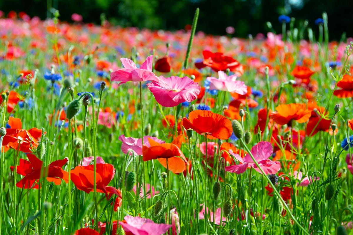 Colourful wild flowers in a meadow. Rewilding is vital for pollinator conservation and the conservation of pollinators is vital for the survival of wild plants