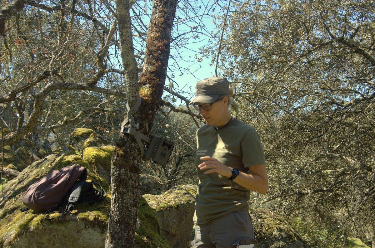 A scientist sets up a camera trap on a tree trunk in the middle of the image, with dense trees and shrubs, and moss covered rocks in the background.