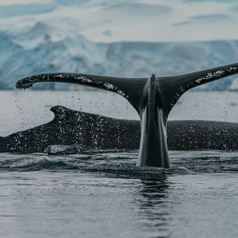 A whale breaching the surface of the ocean.