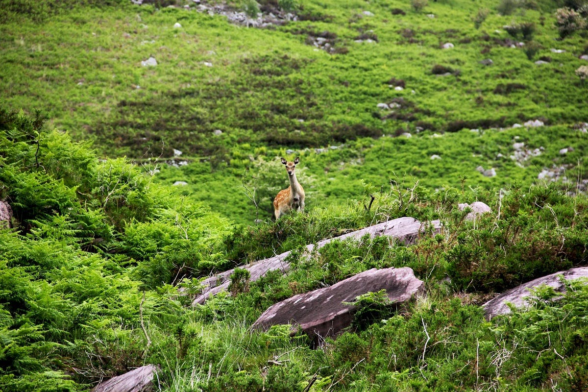 A lone deer in Ireland. Deer is one of the few species of wildlife in Ireland you are still able to see out on a walk.