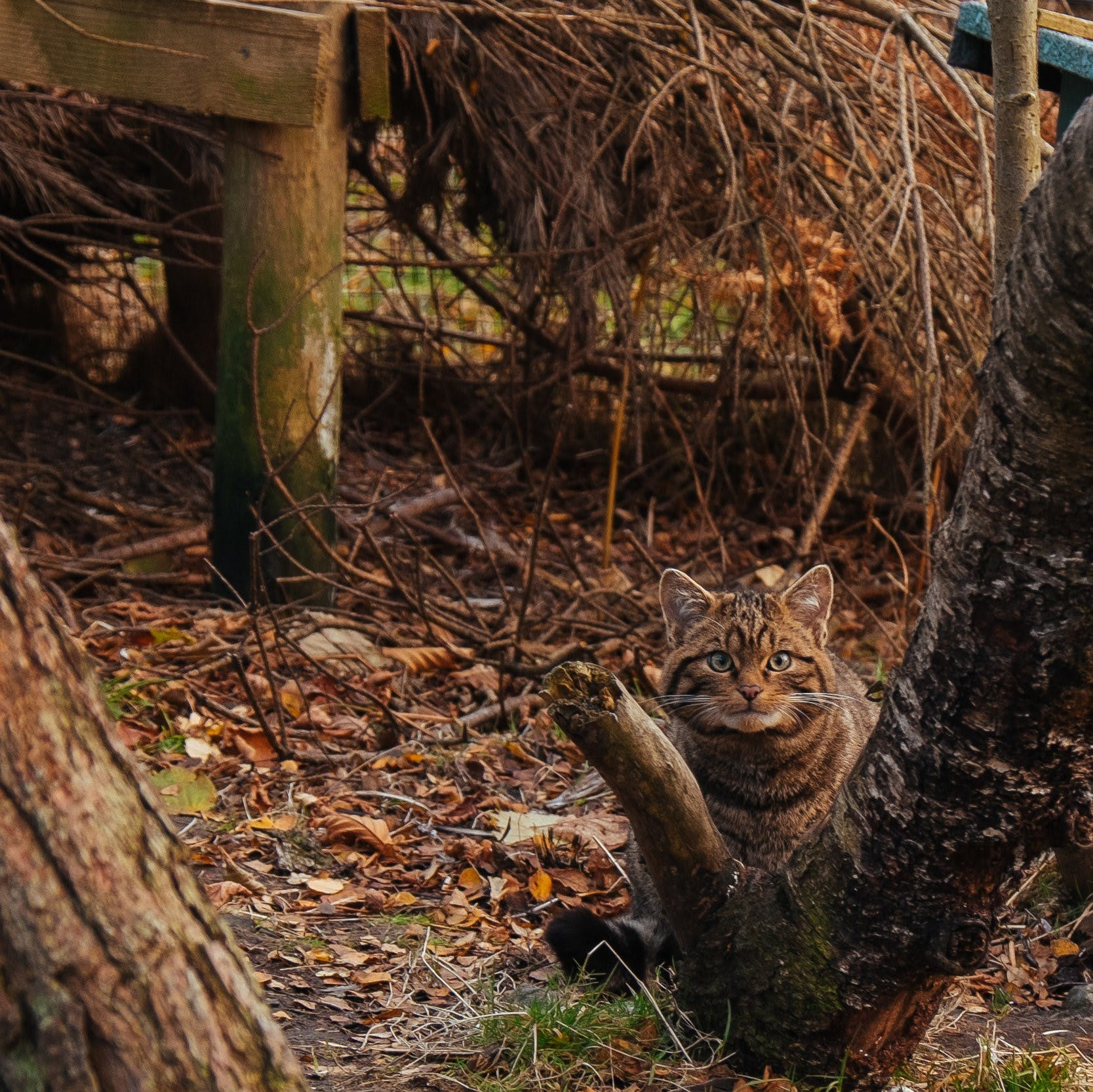 A Scottish wildcat kitten crouches behind a tree in its enclosure at Alladale Wilderness Reserve