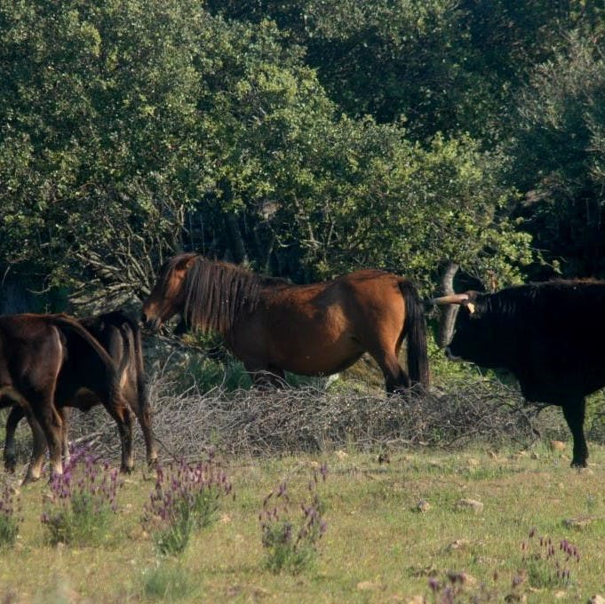 Tauros and wild living horses grazing at the Faia Brava rewilding reserve in Portugal