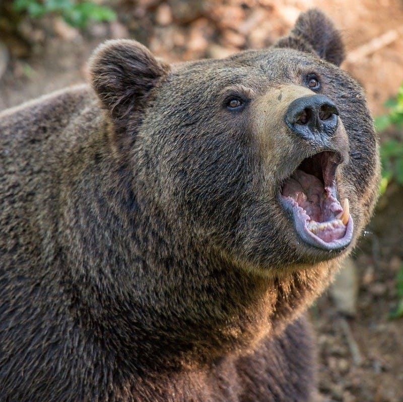 a brown bear roaring.
