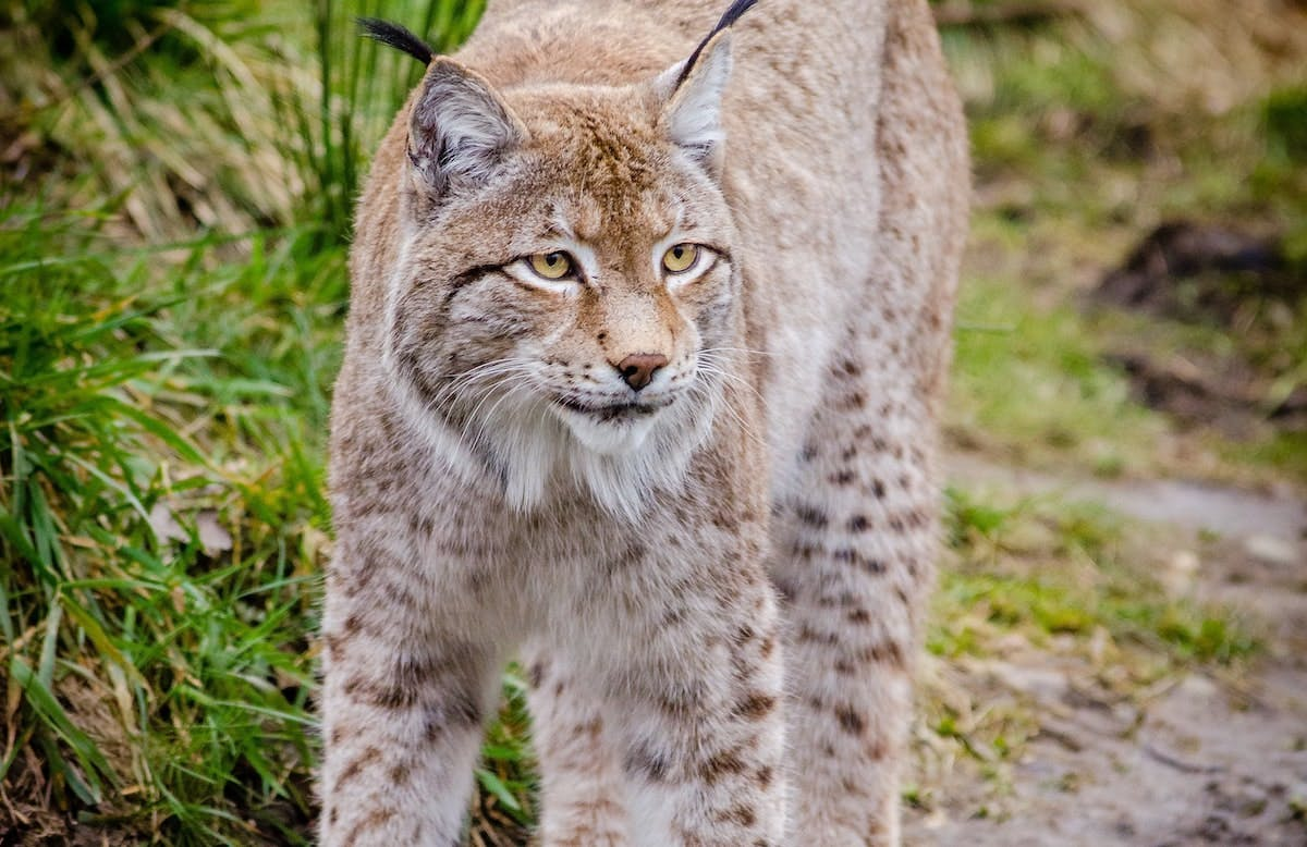 A light coloured Eurasian lynx against a background of green grass. Could this be a common sight in Britain in the coming years?