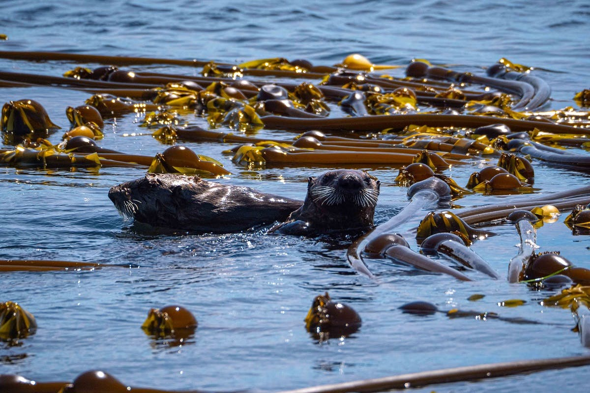 Two sea otters swimming in kelp. This marine plant is a habitat for many species whilst providing other ecological services such as filtering the water column.