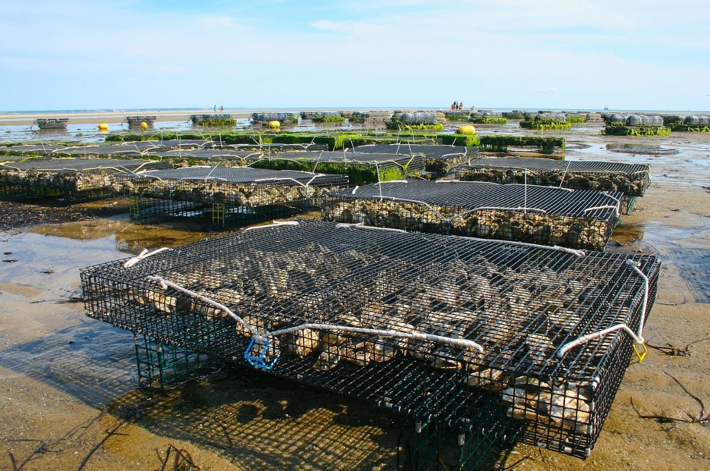 Offshore oyster beds at low tide