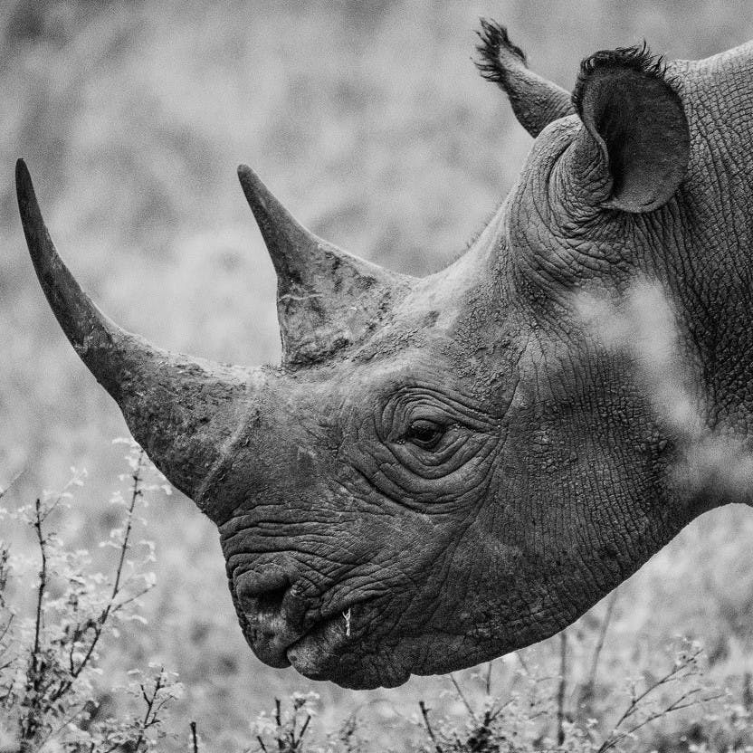 A close up black and white image of a rhino. Rhinoceros have become synonymous with extinction.
