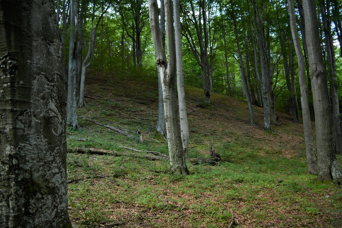 Wild forest ecosystems such as those of Romania's Carpathian Mountains work as effective carbon sequestration sinks.