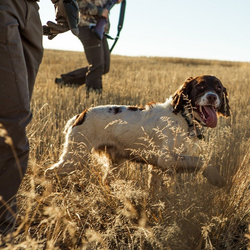 Two men and their dog out hunting. Lead poisoning from ammunition is a big problem in the Douro valley for the vultures.