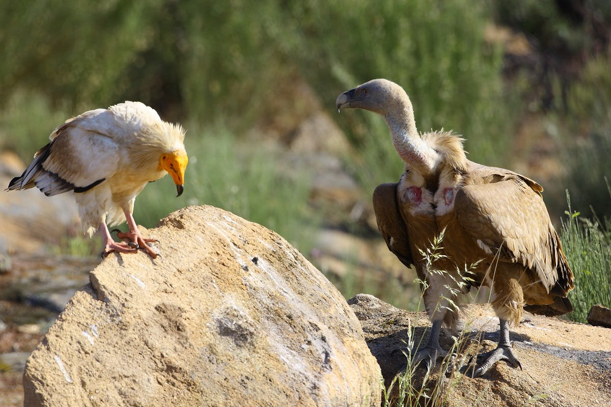 An Egyptian and Griffon vulture perched on rocks in the Côa Valley.