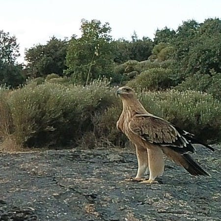 An Iberian-imperial eagle in northern Portugal