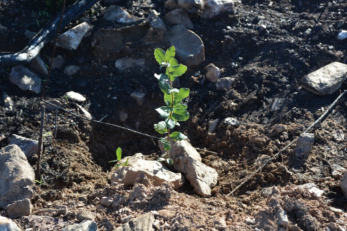 A oak sapling planted at Mossy Earth's Wildfire Restoration project in the north of Portugal.