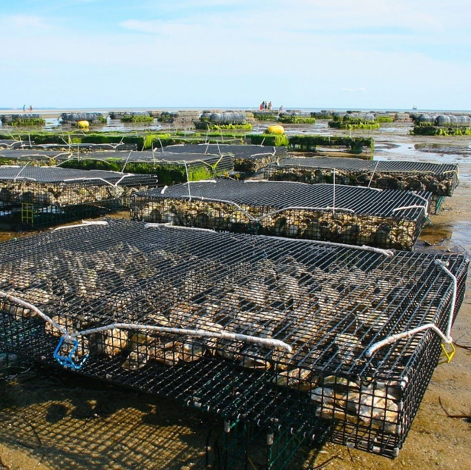 Offshore oyster beds at low tide. Oysters are often a faveourite of pescatarians