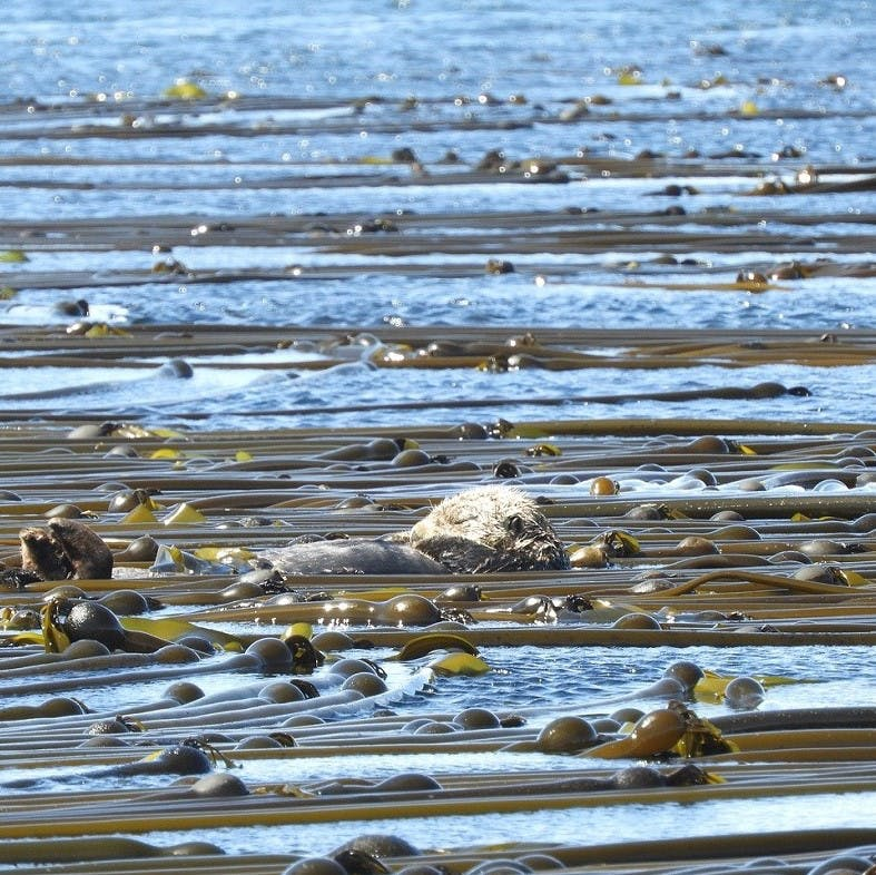 A sea otter resting in a kelp forest.