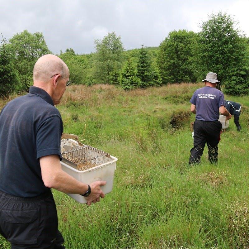 Northumberland Wildlife Trust volunteers taking water voles to release credit Katy Barke