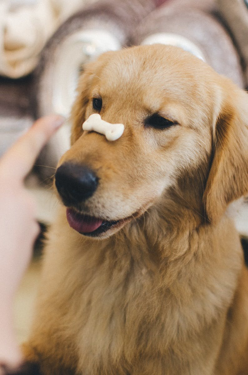 A golden retriever with a biscuit balanced on its nose