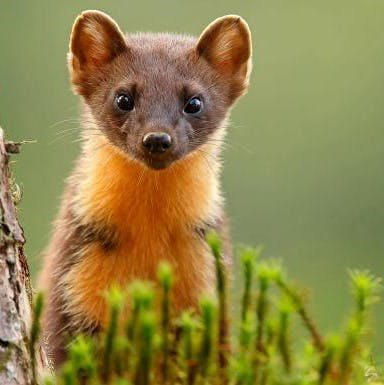 A close up image of a pine marten, just one of many creatures to benefit from rewilding in Ireland.