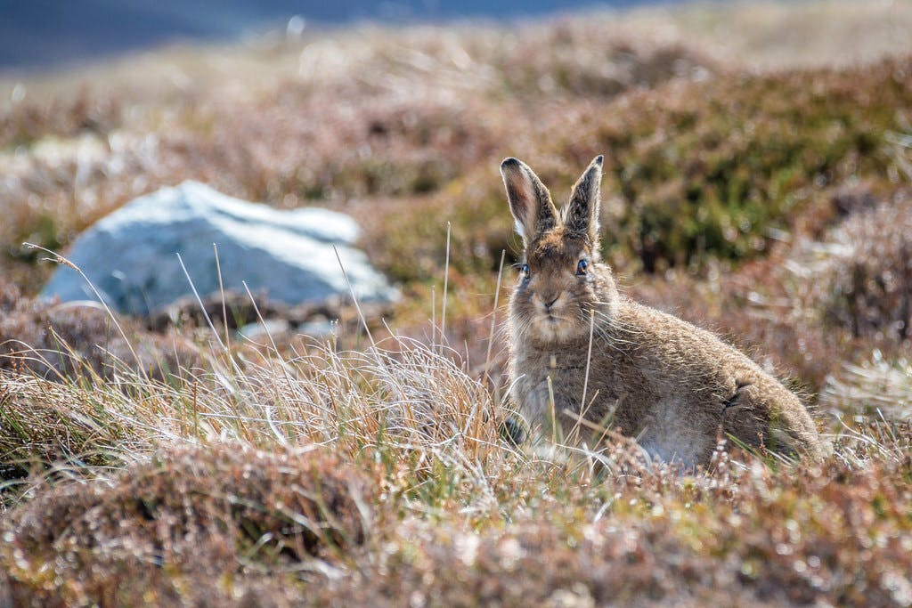 A Mountain hare in its summer coat at the Scottish highlands.