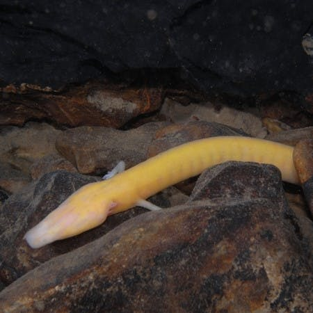 A cave-dwelling troglobite