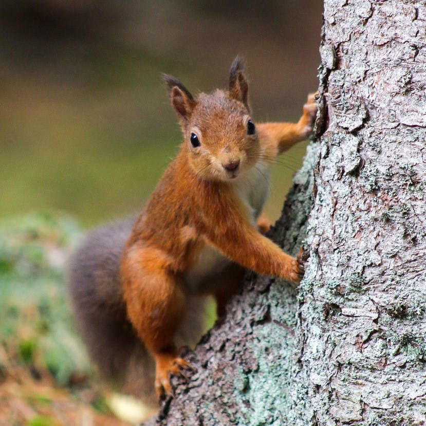 A red squirrel on a tree in Scotland. Rewilding in Scotland has facilitated the return of the red squirrel