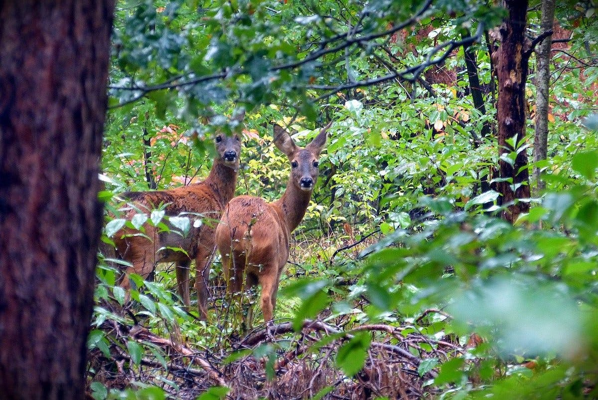 Two roe deer standing in a lush green woodland. This would be an ideal prey for a lynx in Britain, which in turn would help re-balance deer populations.