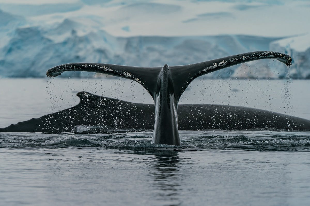 Two whales breaching the surface of the ocean. Similarly, an absence of marine predators, specifically whales could lead to increased greenhouse gases.
