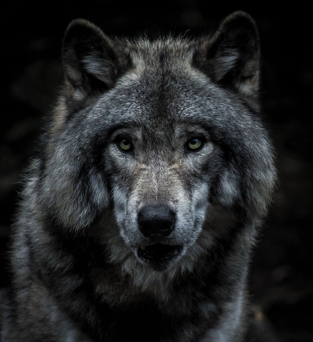 A portrait of a wolf. Wolves are keystone species who affect their whole ecosystem positively.
