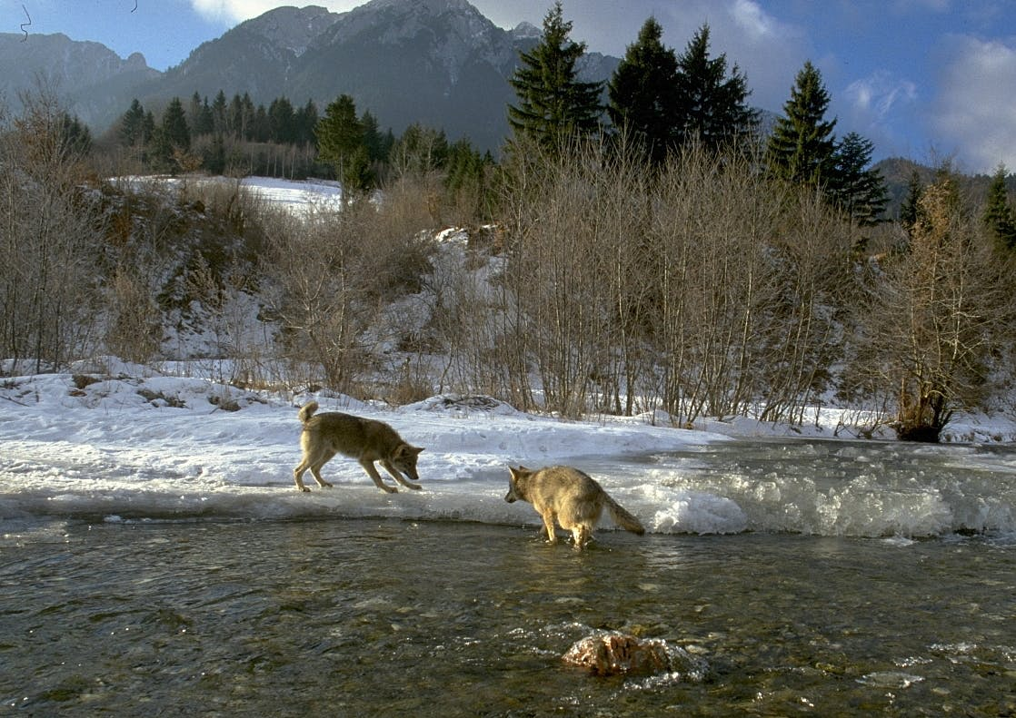 Wolves crossing a river in the Southern Carpathian mountains during winter. Protecting wolves from persecution is key to our rewilding Romania project.