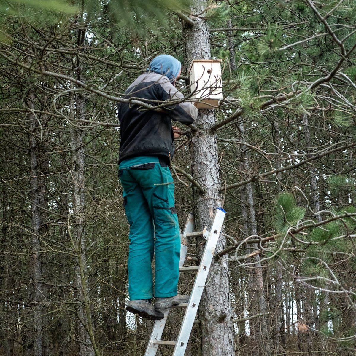 A man stands on a ladder against a pine tree installing a brown nest box