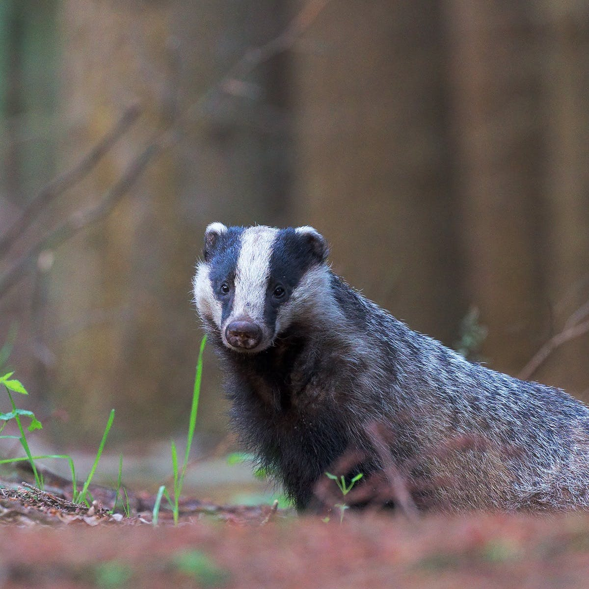 A European badger in an irish woodland. The most misconceived and persecuted member of wildlife in Ireland.