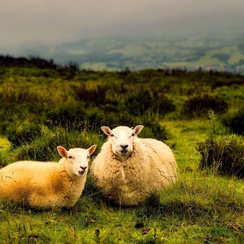 Two sheep lying down in a green field. Critics argue lynx in Britain would pose a threat to livestock.