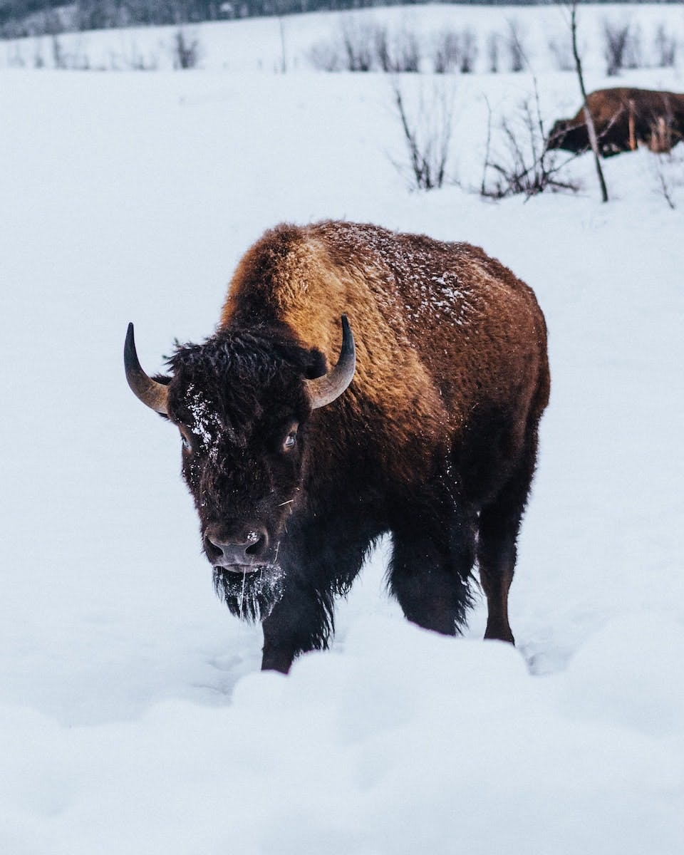 A North American bison stands in deep white snow. The North American bison declined to around 300 individuals after the arrival of European settlers