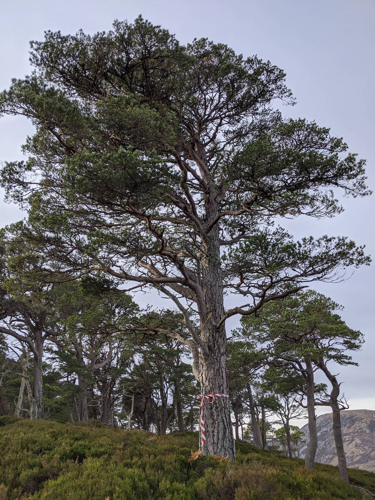 A red and white tape wraps around a tall scots pine. This Scots pine was chosen as the site of the white-tailed eagle nest platform